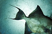 Whole Triggerfish from the Gulf of Mexico