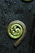 Single Fiddlehead