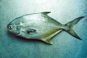 Whole Pompano Fish