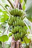 Bananen am Baum