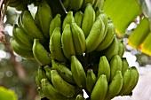 Grüne Bananen am Baum