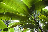 A view from under a banana tree