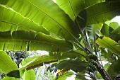 Blick von unten in Bananenbaum