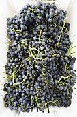 Fresh Picked Grapes in Basket