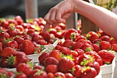 A child's hand pointing to strawberries in paper punnets