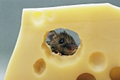 A mouse eating Swiss cheese