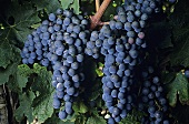 Cabernet sauvignon grapes on a vine