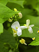 White bean flowers