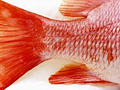 Red snapper (detail - tail)