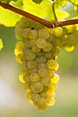 White wine grapes on the vine in sunlight