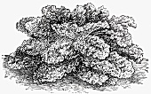 Curly kale (Illustration)