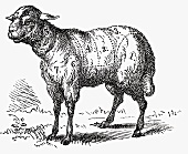 Lamb (Illustration)