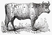 Ox (Illustration)