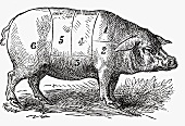Pig (Illustration)