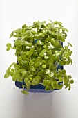 Fresh daikon cress in plastic punnet