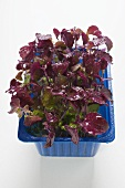 Red daikon cress in plastic punnet