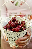 Hands holding white metal bucket of red cherries