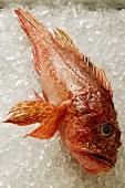 Scorpion fish on ice