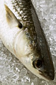 Grey mullet on ice (head)