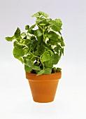Lemon balm in flowerpot
