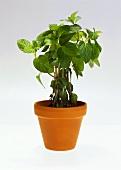 Peppermint in flowerpot