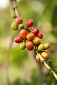 Coffee beans on the bush