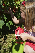 Girl picking redcurrants