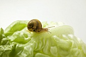 A snail on a lettuce leaf
