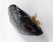 Eine Miesmuschel
