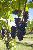 Pinot noir grapes, New Zealand