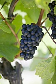 Red wine grapes on the vine, New Zealand