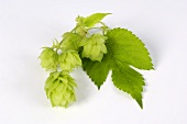 Fresh hop cones with leaf
