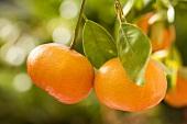 Tangerines on the tree