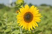 Sonnenblume auf dem Feld