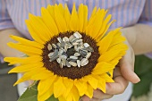 A sunflower with unshelled sunflower seeds