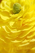 Yellow ranunculus (close-up)