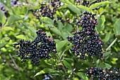 Black elderberries on the bush