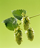 Sprig of hops