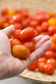 Hand holding fresh cocktail tomatoes