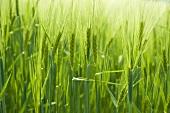 Getreidefeld (Ausschnitt)
