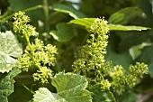 Grapevine flowers