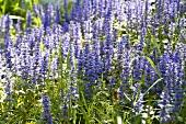 Purple Flowers Growing in a Field