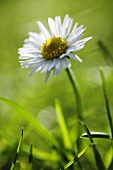 A daisy in a meadow (close up)