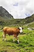 A cow in an alpine meadow