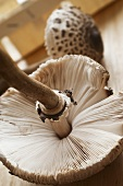 A fresh parasol mushroom (close up)