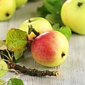 Bio-Elstar Äpfel mit Zweig und Blättern