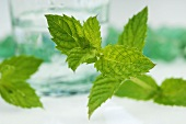 Fresh peppermint leaves in front of a glass of water