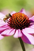 A red echinacea flower and a bee