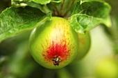 Cox apples on a tree