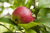 A red apple in a tree